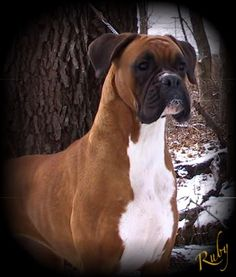 Art looks like our sweet boxer, boots. :) boxers are the best dogs ever! the-fam Boxer Breed, Boxer Puppies, Dogs And Puppies, Doggies, Dogs 101, Boxer And Baby, Boxer Love, Beautiful Dogs, Cutest Animals