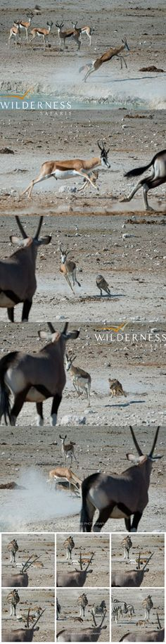 We Are Wilderness - A lone black backed jackal at Nebrowni waterhole in Etosha, attacks and persues an adult springbuck for approx. 6 minutes. A short while later he tries his luck with a sleeping zebra! Any thoughts on whether this could be rabies? Large groups of jackal kill springbuck daily at Gemsbokvlakte, but a single jackal? Click on the image for the full story. Black Backed Jackal, Predator, Wilderness, Safari, Tourism, Thoughts, Blog, Animals, Image
