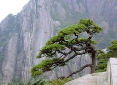 바위 위의 소나무~~