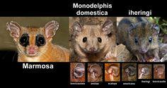 ORELHAS -  ears  In Monodelphis (parte)