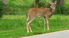 Deer vehicle collisions kill about 200 people every year, and more deer collisions happen in the fall than any other time of year. If you live in deer country, this advice might save you some trouble. Driving Safety, Mini Vacation, Percents, Really Cool Stuff, Kangaroo, Montana, Deer, Wildlife, Drama