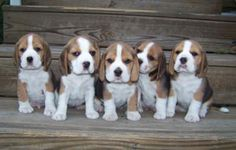 litter_of_beagle_puppies