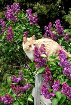 A faint smell of lilac filled the air. There was always lilac in this part of town. Where there were grandmothers, there was always lilac. Crazy Cat Lady, Crazy Cats, I Love Cats, Cute Cats, Animals And Pets, Cute Animals, Animal Gato, All About Cats, Ginger Cats