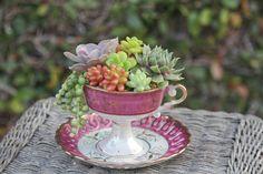 Succulents in tea cup.