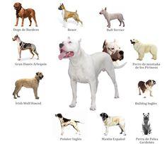 Dogo Argentino vs Pitbull   hndin dogo argentino vs pitbull an month old pitbull