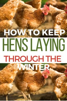 This is great info for backyard chicken beginners who want fresh eggs all winter long. Learn what you need to do to keep your hens laying through the winter! Easy Chicken Coop, Backyard Chicken Coops, Chicken Coop Plans, Building A Chicken Coop, Chicken Runs, Chicken Feeders, Chicken Tractors, Chicken Run Ideas Diy, City Chicken