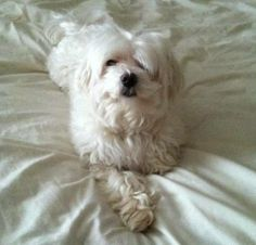 Reunite 6/23/14 06/21/14: This is a courtesy post! This dog is missing from Mapleton Avenue in Hartford,CT. It has been missing since last Sunday 06/15/14. The dog is an 8 year old Maltese with a medical condition. The dog has a microchip but was not wearing a collar. Please contact us at 860-523-2018 with any information. Thank you.
