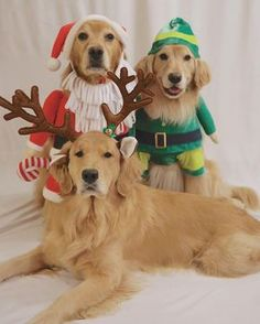 """358 Likes, 9 Comments - Goldens Teddy, Harper, Sophie (@hoosierfavoritegoldens) on Instagram: """"If you're going to jingle, ALWAYS jingle all the way. No one likes a half assed jingler.…"""""""