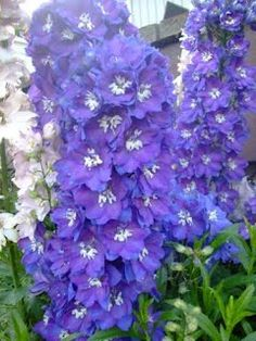 Deer Resistant Flowers - Top 10 Flowers for your Landscape - Love Delphinium - Back Garden