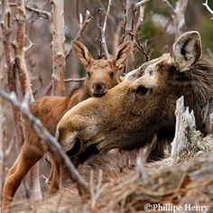 Moose from National Wildlife Federation Nature Animals, Animals And Pets, Baby Animals, Cute Animals, Moose Pictures, Animal Pictures, Moose Pics, Beautiful Creatures, Animals Beautiful