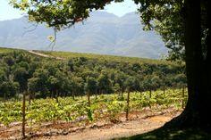Rust en Vrede, Stellenbosch Vineyard, Mountains, Nature, Travel, Outdoor, Africa, Outdoors, Naturaleza, Viajes