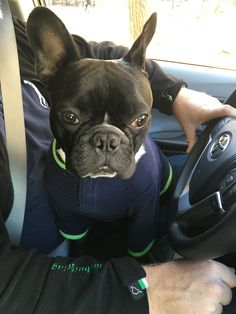 Napoleon the French Bulldog learning to drive