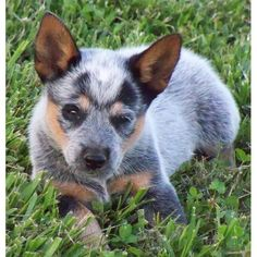 Australian Cattle Dog/Blue Heeler for sale. A cute female Australian Cattle Dog/Blue Heeler puppy for sale in Hillsboro, TN 37342.