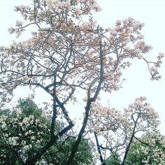 【hogisienne】さんのInstagramをピンしています。 《2017.01.20 上野公園の寒桜。 雪がちらつく薄鈍色の空の下、満開の花も寒そうに見えました。  寒桜は1月頃から咲き始める早咲きの桜で、元日桜とも呼ばれます。  大島桜と緋寒桜or寒緋桜の交雑種です。  #Prunuskanzakura #kanzakura #cherryblossom #fleur #flower #flowers #flowerlovers #flowerstagram #floral_perfection #flower_beauties #naturelovers #uenopark  #the_sence_of_wonder #睦月 #冬の花 #カンザクラ #寒桜 #サクラ #さくら #桜》