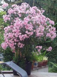 der balkon im s den ist perfekt f r den mediterranen oleander strauch green heaven pinterest. Black Bedroom Furniture Sets. Home Design Ideas