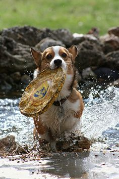 Corgis: catching frisbees in eight inches of water or less.