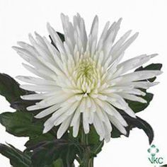Chrysant Sgl Anastasia is a White disbudded, single headed cut flower.A beautiful long lasting flower - this colour perfect for inclusion in wedding bouquets and to create stunning corporate arrangements. Suited to all aspects of floristry. May Flowers, Amazing Flowers, Fresh Flowers, White Flowers, September Flowers, Wedding Flower Arrangements, Wedding Bouquets, Wedding Flowers, White Chrysanthemum