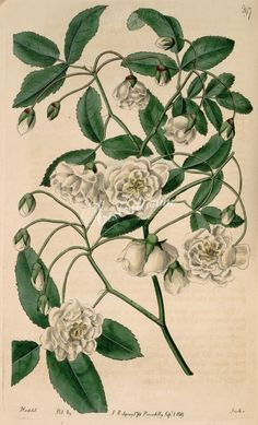 397-rosa banksiae flore pleno, Lady Banks's Rose double-flowered      ...