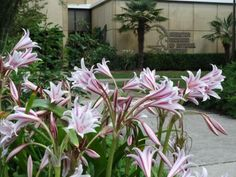 Crinum lilies at the Anniston Museum of Natural History. Photo courtesy of Hayes Jackson