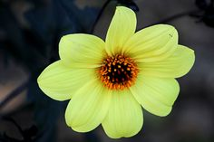 8 petals Yellow flower. | Flickr - Photo Sharing!