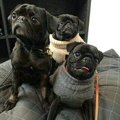 """Our friend forgot his sweater.""  www.jointhepugs.com"