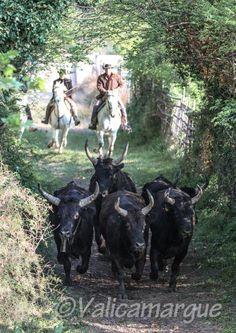 #horses #bulls #camargue