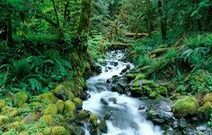 Hoh Rain Forest - Olympic Peninsula Olympic Peninsula, How Beautiful, Pacific Northwest, Olympics, Photo Galleries, Waterfall, Camping, Gallery, World