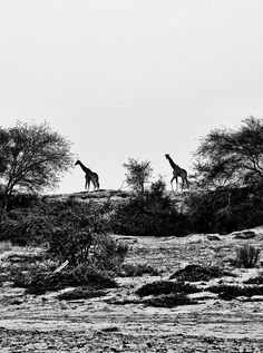Hoanib Camp is right by the riverbank, which functions as a sort of superhighway for migrating animals—giraffes, elephants, and lions among them.