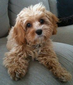 Cavapoo (Cavalier King Charles Spaniel/Poodle cross) A friend for Tucker! Cavoodle Dog, Cavapoo Puppies, Baby Puppies, Cute Puppies, Cute Dogs, Dogs And Puppies, Doggies, Dogs 101, Maltipoo