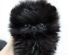 The traits we all respect about the Pomeranian Dogs Find Out More On Playfull Pomeranian Puppies Teacup Puppies, Cute Puppies, Cute Dogs, Dogs And Puppies, Baby Puppies, Doggies, Black Pomeranian, Pomeranian Puppy, Pomeranian Breeders