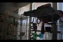 """(video) Parrot Sings """"Let The Bodies Hit The Floor"""" by Drowning Pool.  ** Not only does he know the words, he knows the rhythm and the tone!  Listen for yourself!"""