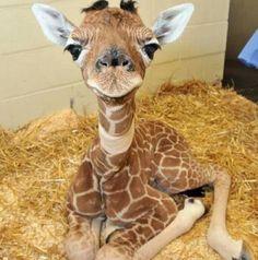 Awwww look at the little giraffe!!