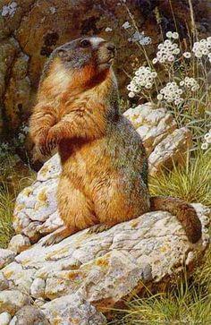 Carl Brenders Yellow Bellied Marmot