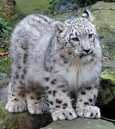 Amazing creation:  Snow Leopard.