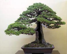 http://bonsaibark.com/wp-content/uploads/shari1-without.jpg