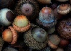 acorns.  so beautiful.