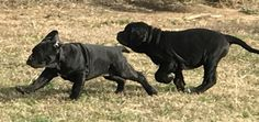 Neapolitan Mastiffs, Dogs, Animals, Animales, Animaux, Doggies, Neopolitan Mastiff, Animais, Dog