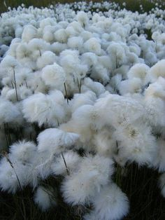 ERIOPHORUM angustifolium / cotton grass : my back wet meadow is beautiful when they are in bloom Wooly Bully, Dame Nature, Nature Landscape, Belle Plante, Cotton Fields, Grape Vines, Mother Nature, Wild Flowers, Planting Flowers
