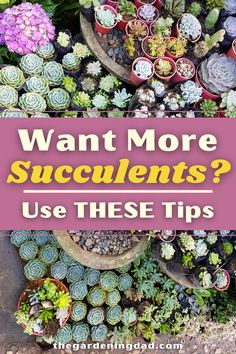 Do you Want More Succulents this year? Then Use THESE Tips! You'll love how easy these 3 EASY Tips are for planting, growing, propagating, transplanting, and harvesting these useful desert plants! #succulent #gardening #succulents Succulent Gardening, Succulent Care, Succulents Garden, Container Gardening, Growing Succulents, Desert Plants, Propagation, Beautiful Gardens, Planting