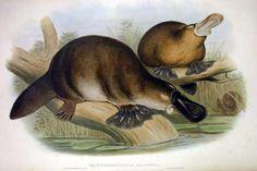 Platypus from The Mammals of Australia  1863 John Gould (1845-1863)