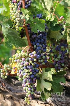 Colorful Grapes | Photo by Carol Groenen with Pin-It-Button on #fineartamerica