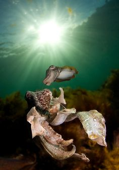 Giant cuttlefish Whyalla, South Australia | Flickr - Photo Sharing!
