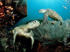 Beautiful Sea Turtles Underwater