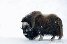 Muskox (Ovibos moschatus) in a snowy lanscape, Dovrefjell National Park, Norway. Muskoxen evolved in Asia and adapted to arctic tundra environments Unique Animals, Cute Animals, Reptiles, Mammals, Arctic Tundra, Musk Ox, Creature Design, Limited Edition Prints, Wildlife Photography
