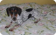 Trenton, NJ - Dachshund Mix. Meet Do-si-do, a dog for adoption. http://www.adoptapet.com/pet/11386230-trenton-new-jersey-dachshund-mix