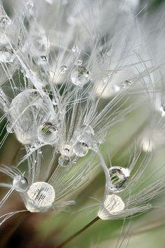 Raindrops on dandelion seedhead