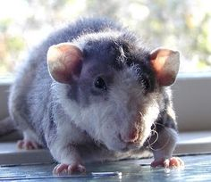 The Cutest Pictures Of Rats