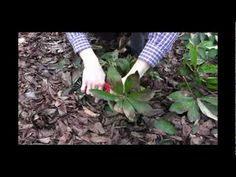 How to Care for Hellebores - Winter Pruning Tips Video