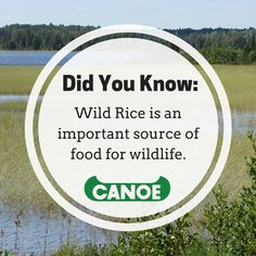 Many waterfowl, including mallard ducks, blackbirds, bobolink, wood ducks, and black ducks, rely on wild rice as a food source because of its high protein content. #FunFact