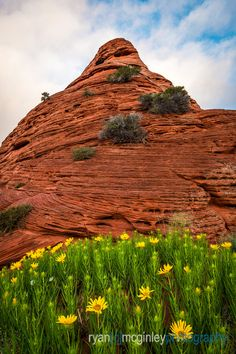 Wildflowers foreground a teepee formation in Coyote Buttes South in the Paria Canyon-Vermilion Cliffs Wilderness on the border of Arizona and Utah. Coyote Buttes South, Paria Canyon, Wildflowers, New Work, Wilderness, Utah, Landscape Photography, Arizona, Mountains